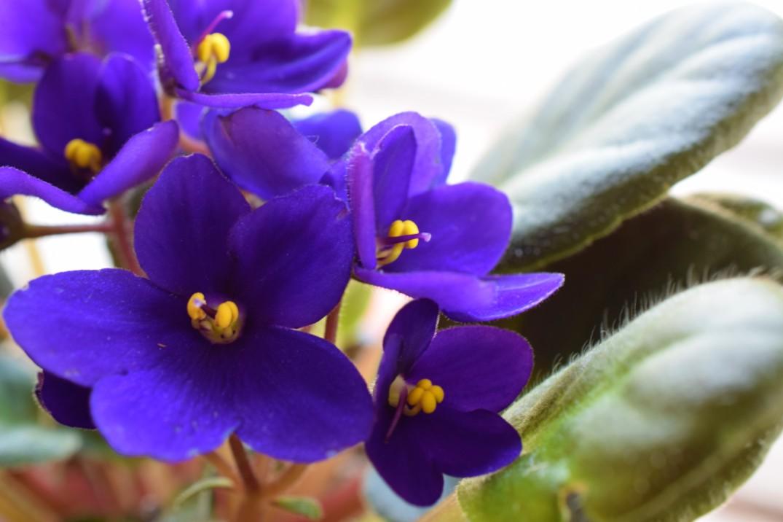 Purple Violets 2
