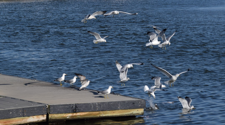 Seagulls Feeding 1