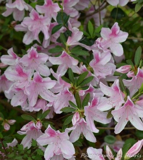 Pink Azalea 4