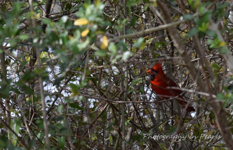 Red Bird 1-2