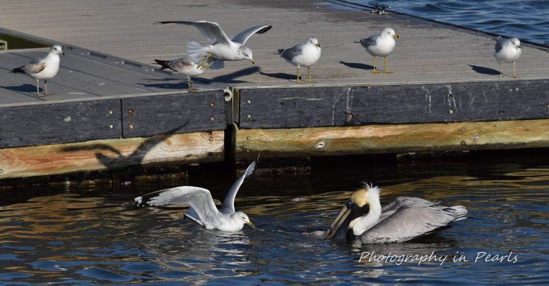 Seagulls, Pelicans 19