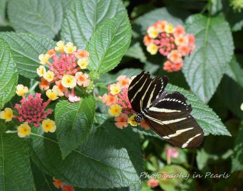 Zebra Butterfly 3