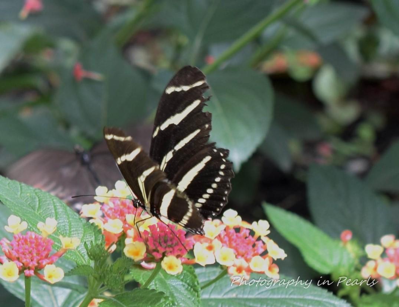 Zebra Butterfly 6