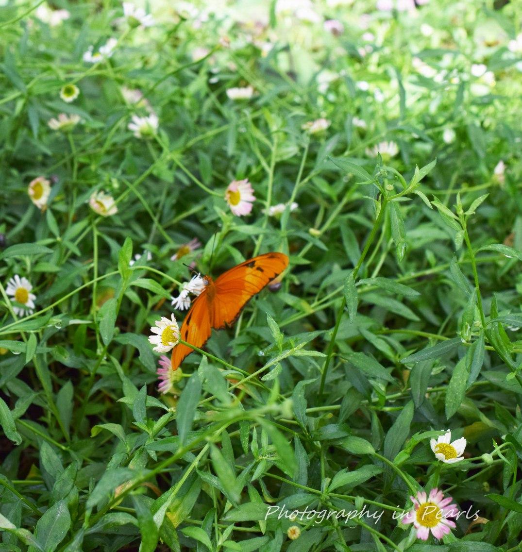 Julia Butterfly 7