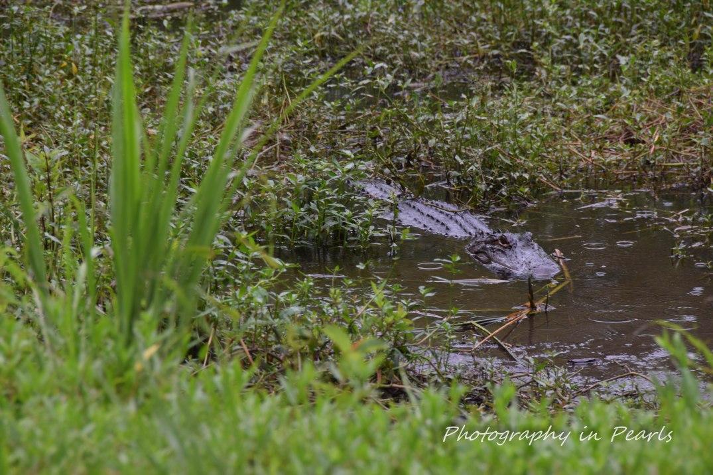 Alligator at Huntington