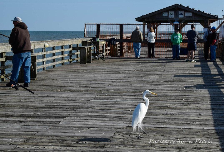 egret-strolling-the-pier