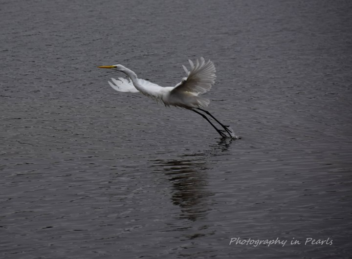 egret-in-flight-1