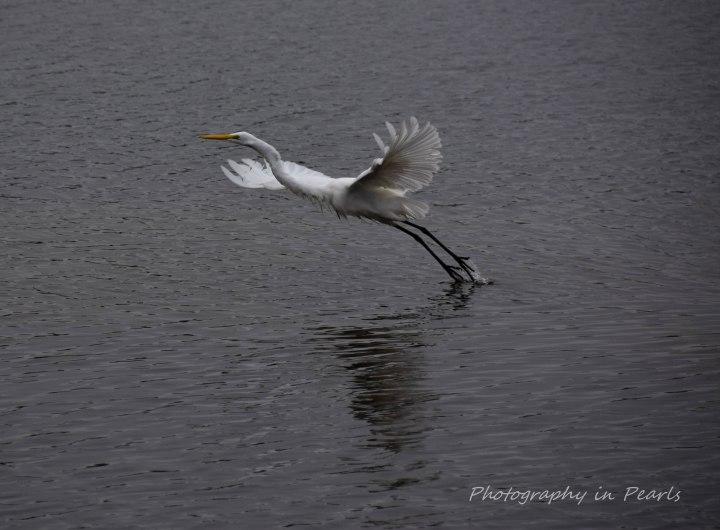 egret-in-flight-1