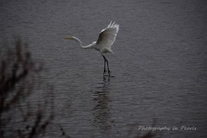 egret-in-flight-10