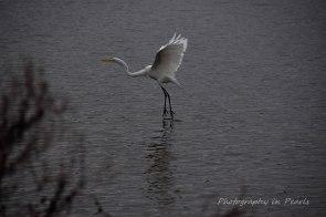 egret-in-flight-10
