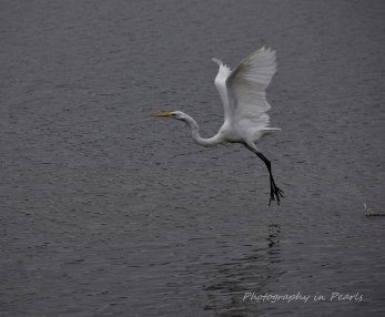 egret-in-flight-2