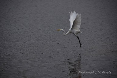 egret-in-flight-4