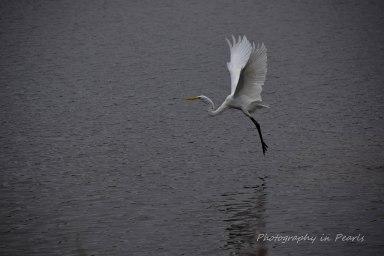 egret-in-flight-4