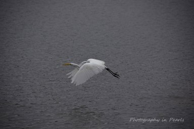 egret-in-flight-5
