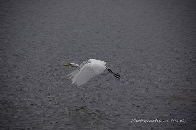 egret-in-flight-5