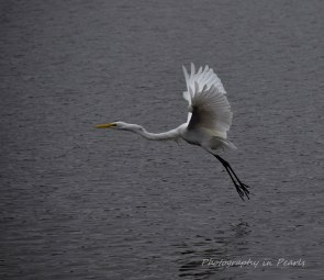 egret-in-flight-6