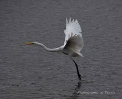 egret-in-flight-8