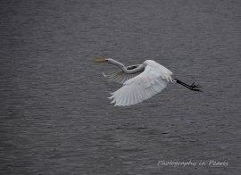 egret-in-flight-9