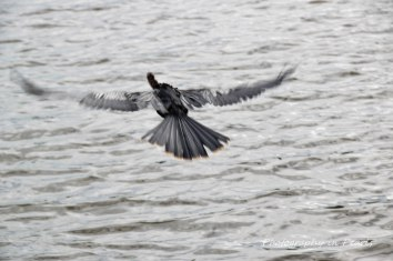 Anhinga in Flight 2
