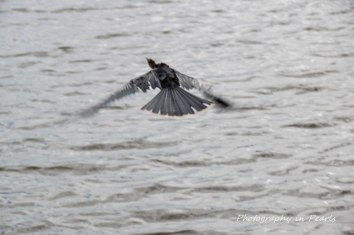 Anhinga in Flight 3
