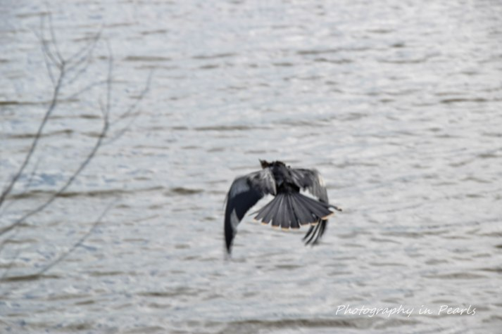 Anhinga in Flight 4
