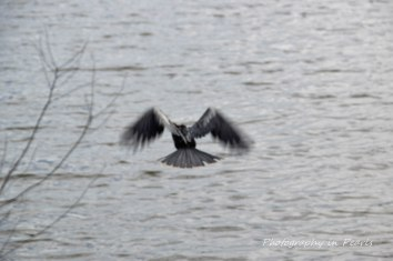 Anhinga in Flight 5