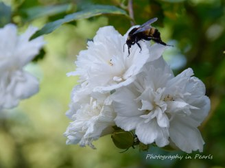 Bee on White Rose of Sharon