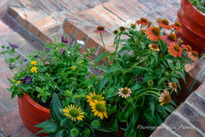 Coneflowers and More 1