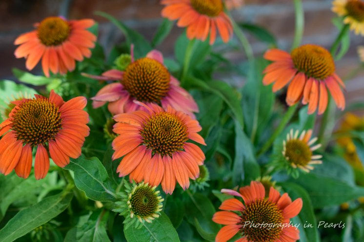 Orange Conflower 3