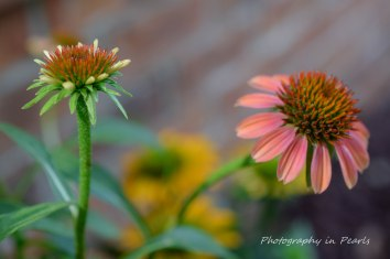 Pink and Green Coneflowers