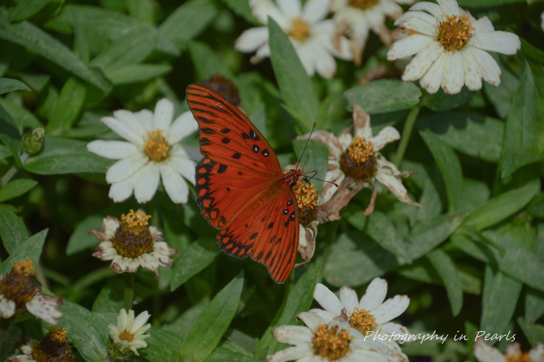 Queen Milkweed Butterfly on Zinnia