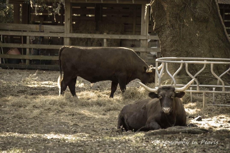 Bulls Black and White