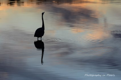 Heron at Sunset 4