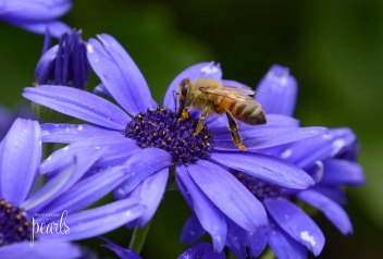 Bee on Blue 1
