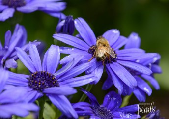 Bee on Blue 2