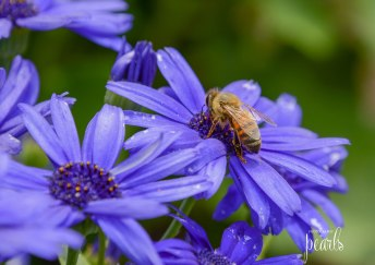 Bee on Blue 3