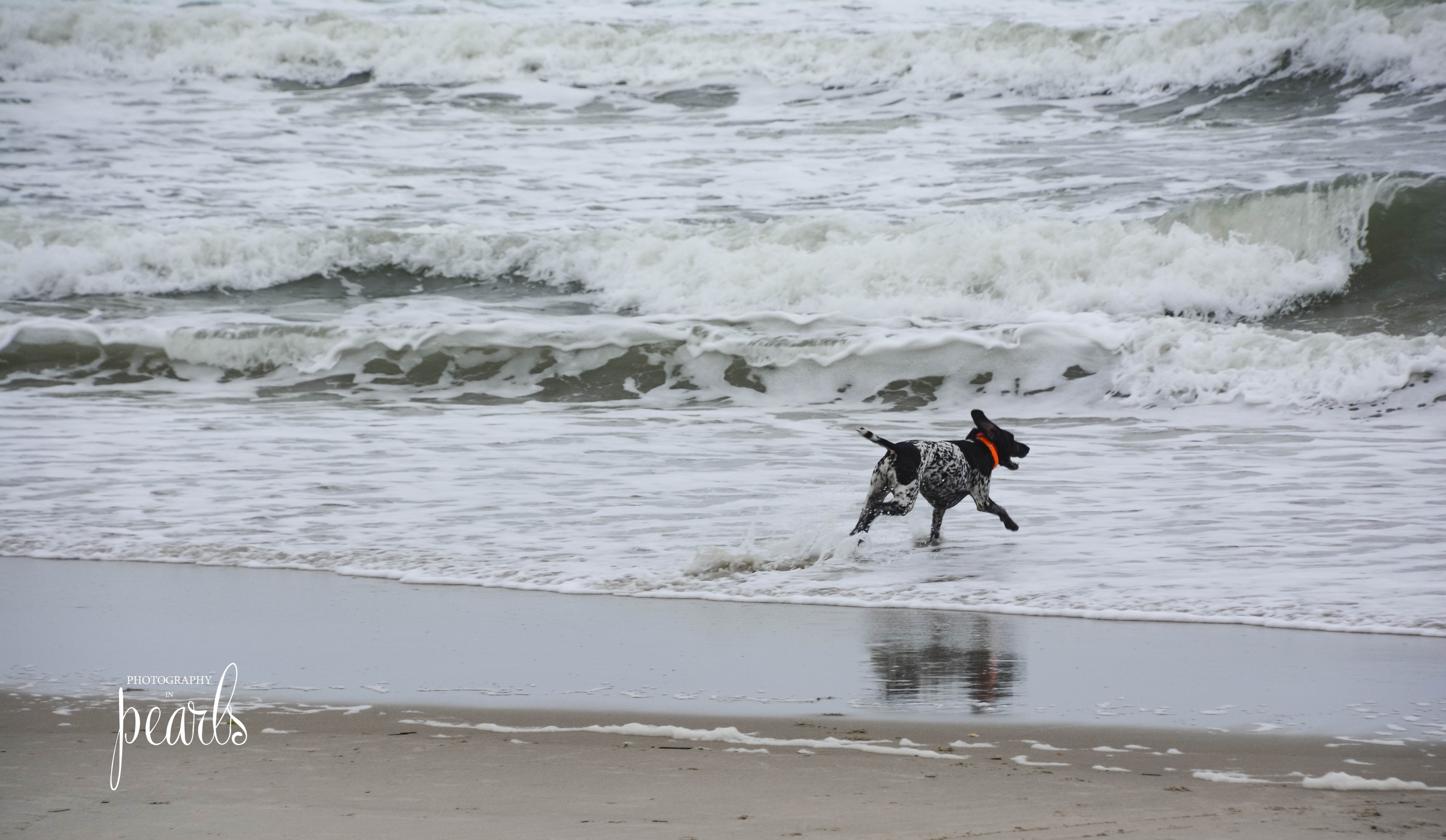 Dog in the Surf 1