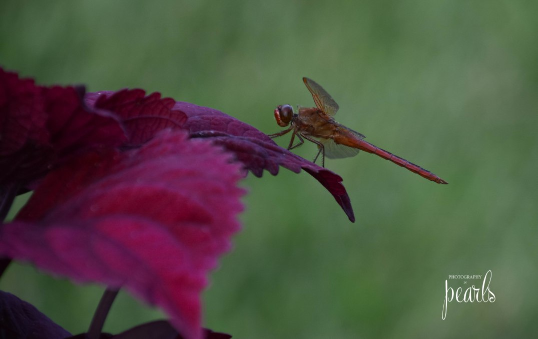 Red Dragonfly 1