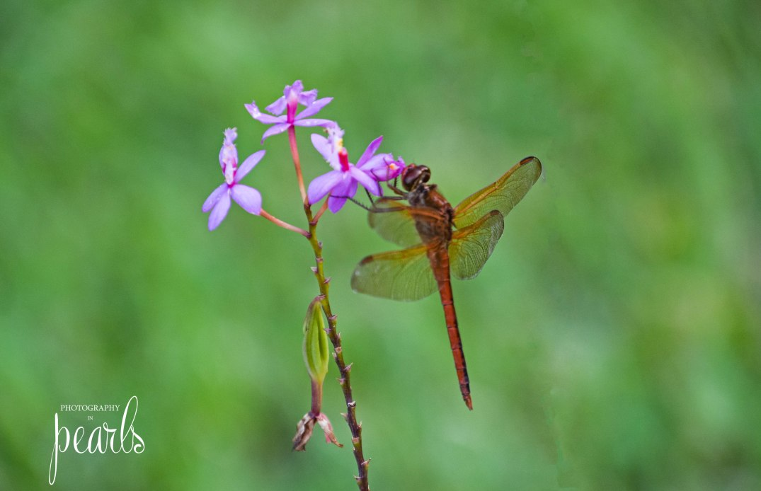 Red Dragonfly 2