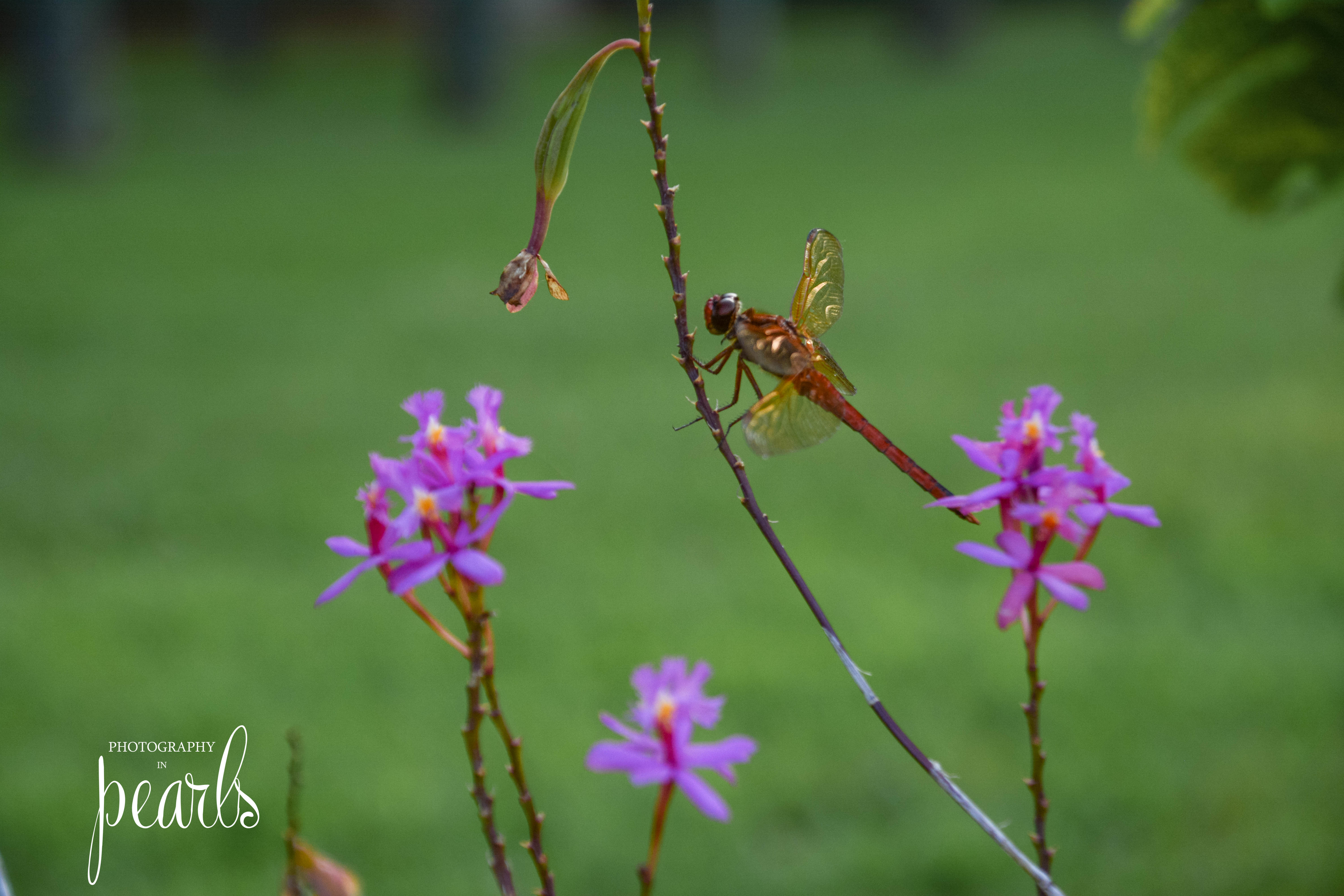 Red Dragonfly 5