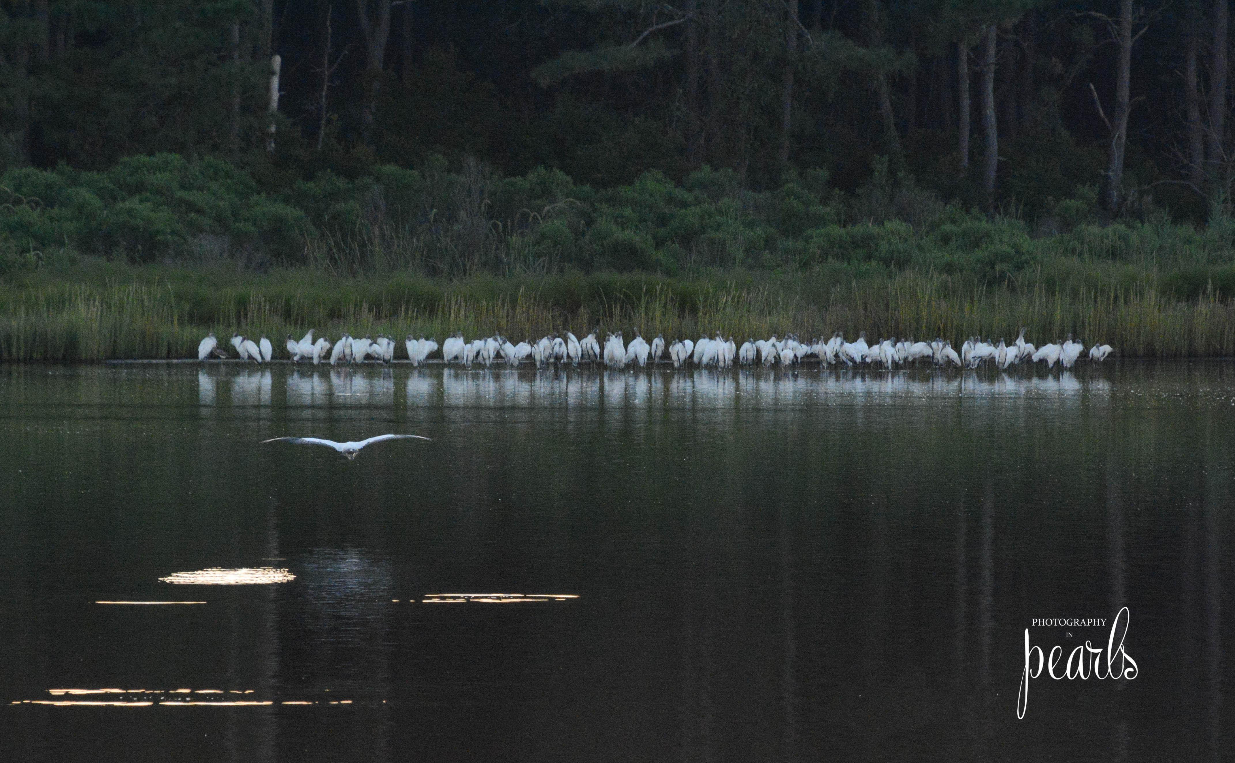 Wood Stork Congregation