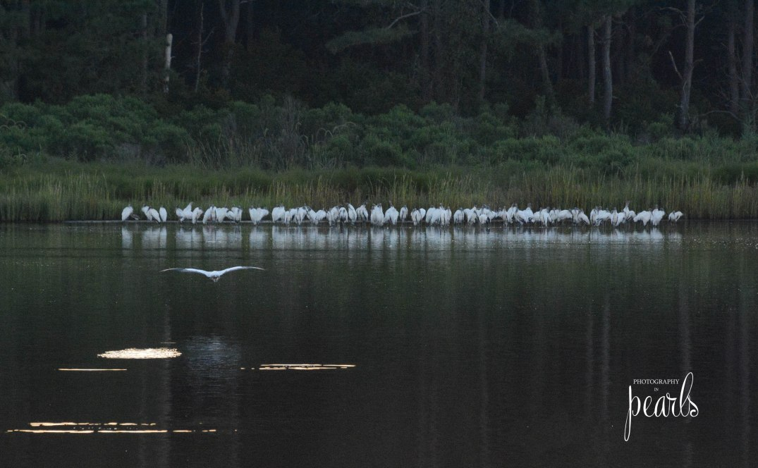 Wood Stork Congregation