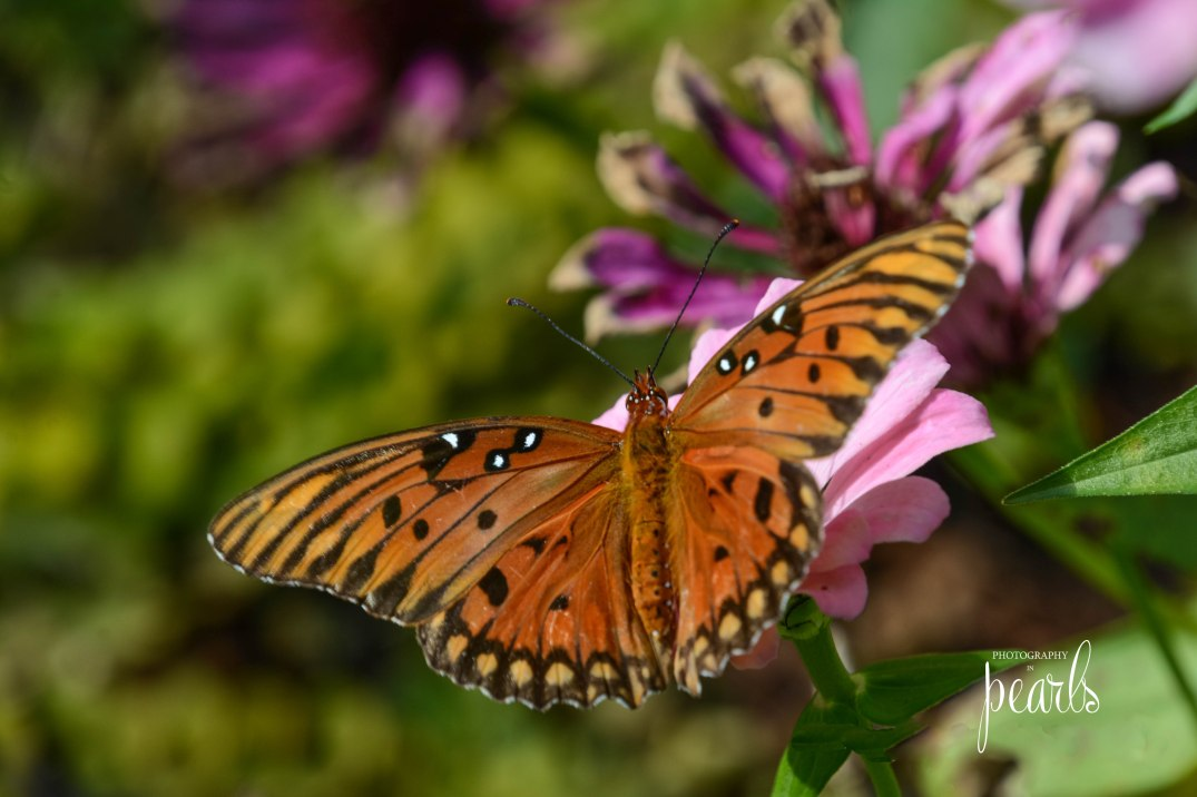 Gulf Fritillary on Zinnia 2