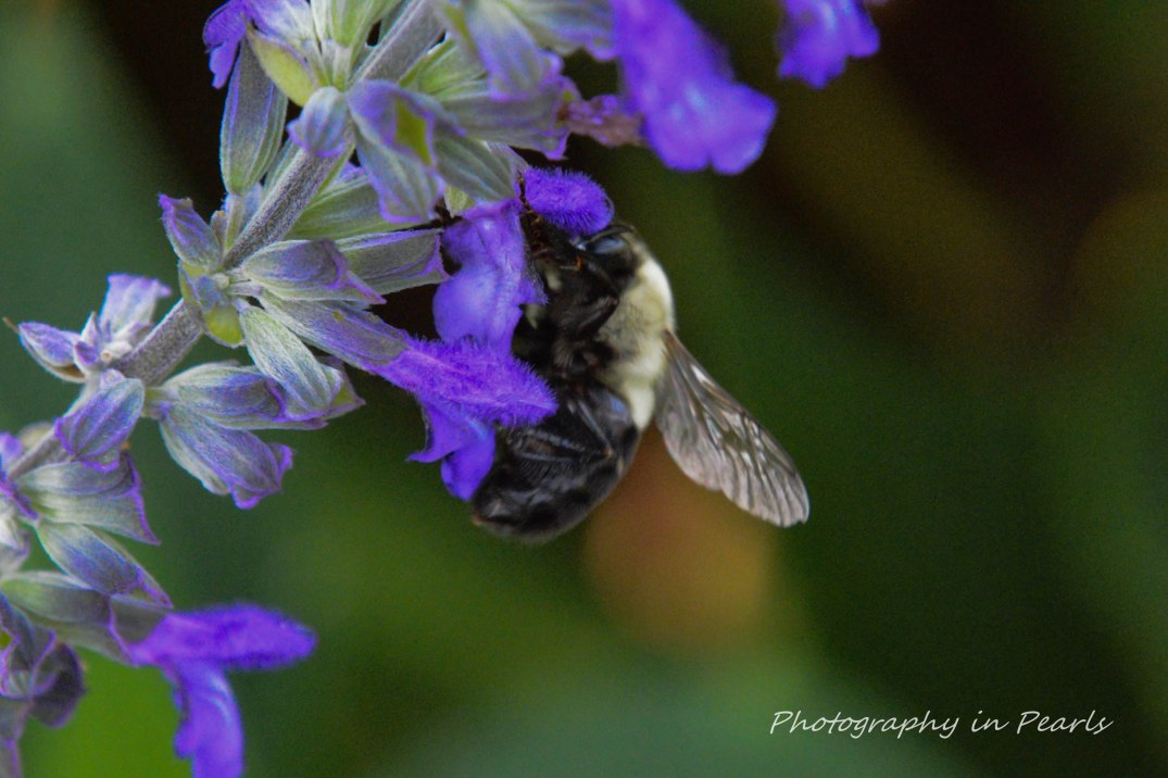 Bee on Salvia Leucantina Close Up