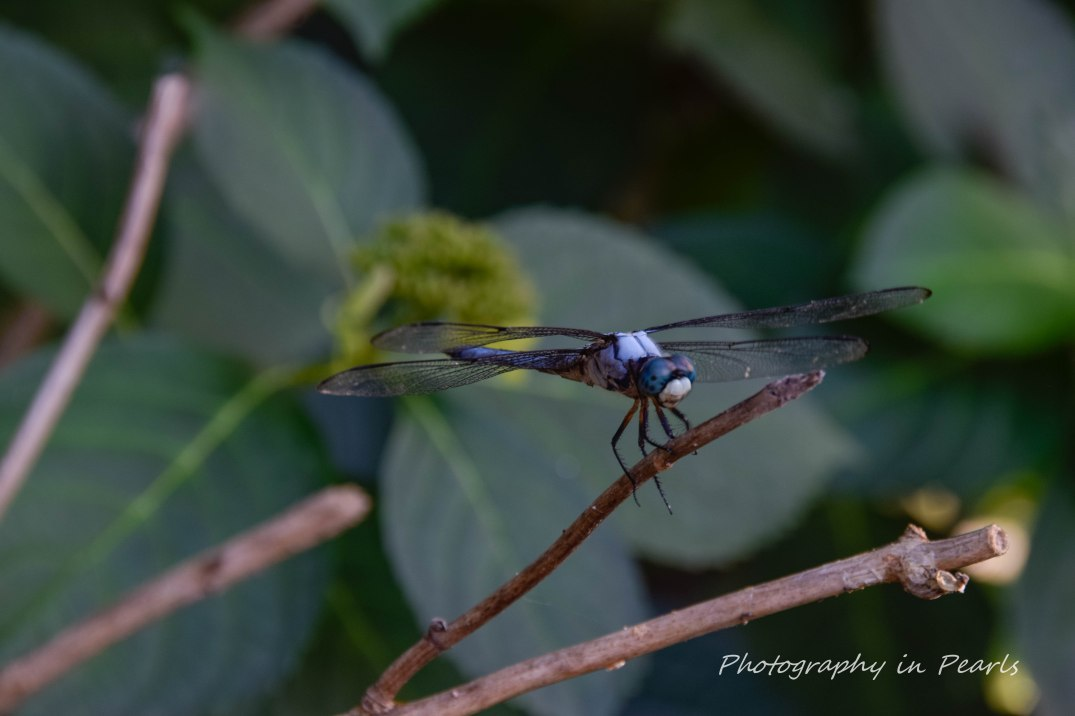 Blue Dragonfly Eyes