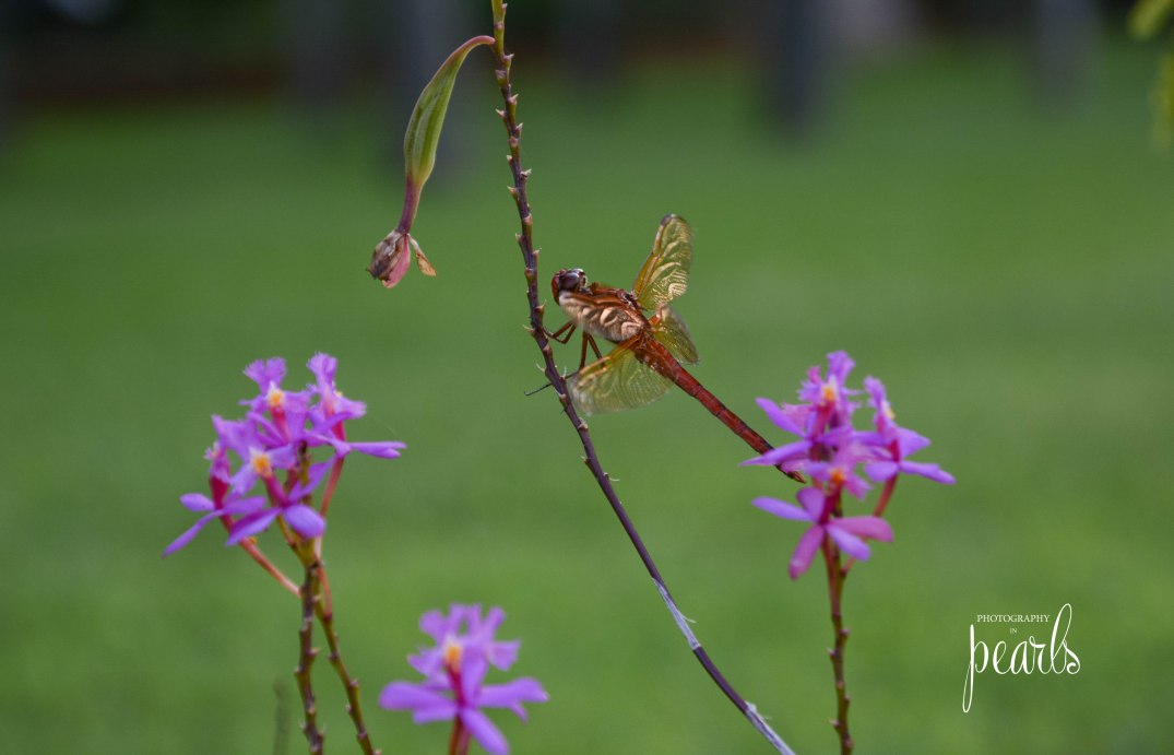 Red Dragonfly 6