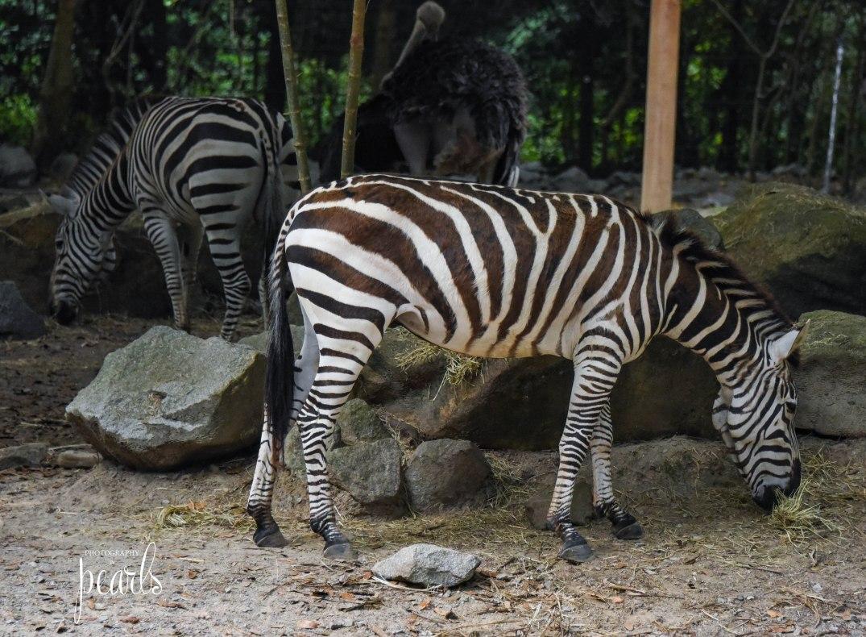 Zebra DSC_4845