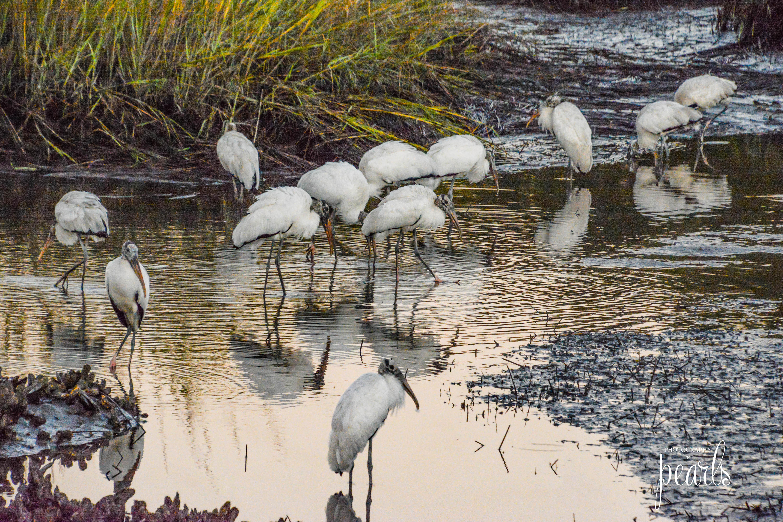 Wood Stork Gathering