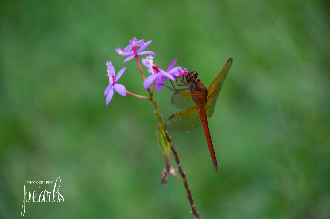 Red Dragonfly 3